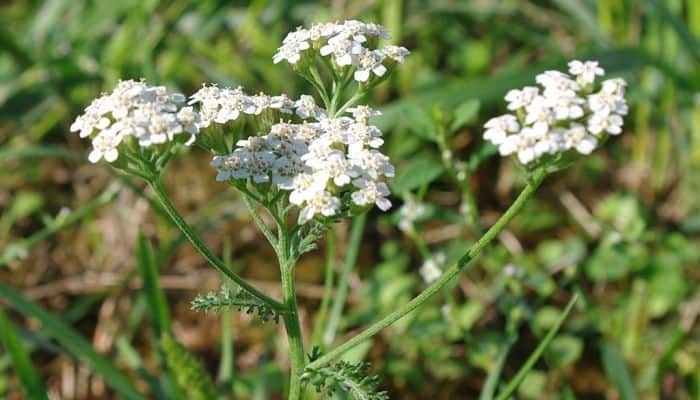 Yarrow Herb - Health Benefits and Side Effects